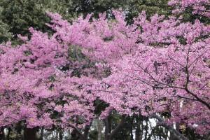 桃の節句桃の花の意味3