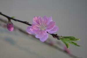 桃の節句桃の花の意味5